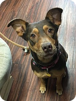 Doberman Pinscher/Terrier (Unknown Type, Medium) Mix Dog for adoption in Van Alstyne, Texas - Siena