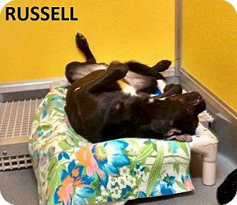 Rottweiler/Labrador Retriever Mix Dog for adoption in Elizabeth City, North Carolina - Russell