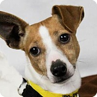 Jack Russell Terrier Dog for adoption in Colorado Springs, Colorado - Emerald