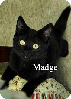 Domestic Shorthair Kitten for adoption in Warren, Pennsylvania - Madge