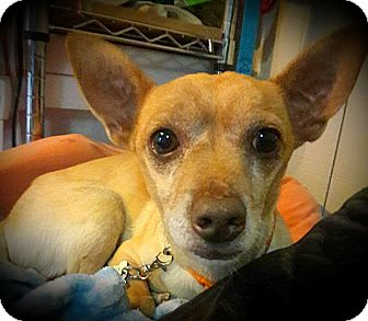 Dachshund/Chihuahua Mix Dog for adoption in Tijeras, New Mexico - Jimmy