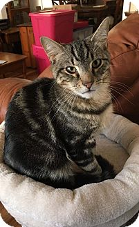 Domestic Shorthair Kitten for adoption in Old Bridge, New Jersey - Snickerdoodle