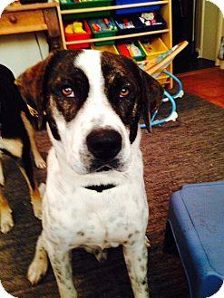 Hound (Unknown Type)/Pointer Mix Dog for adoption in Little Rock, Arkansas - Lucky Star