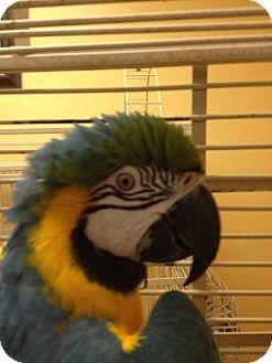Macaw for adoption in Punta Gorda, Florida - Bogie
