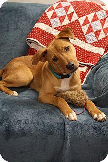 Labrador Retriever/Boxer Mix Dog for adoption in Homewood, Alabama - Chipper