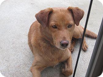 Labrador Retriever/German Shepherd Dog Mix Dog for adoption in Conyers, Georgia - Isabella