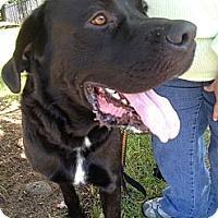 Adopt A Pet :: Remmington - Richmond, VA