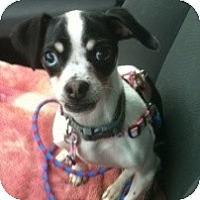 Adopt A Pet :: Blue - MD - Jacobus, PA