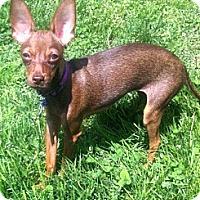Adopt A Pet :: Sweet Lily - Marlton, NJ