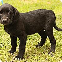 Adopt A Pet :: Felicia - Staunton, VA