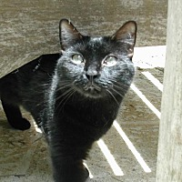 American Shorthair Cat for adoption in Naples, Florida - Marcy
