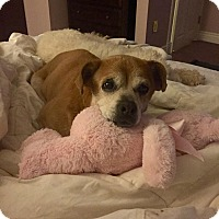 Adopt A Pet :: Rosie - Wilmington, DE