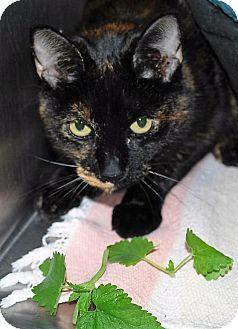 Domestic Shorthair Cat for adoption in Prescott, Arizona - Zipper