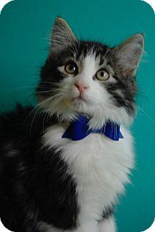 Domestic Mediumhair Kitten for adoption in THORNHILL, Ontario - Osuna