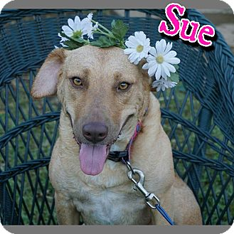 Golden Retriever/Pit Bull Terrier Mix Dog for adoption in Arlington, Texas - Sue