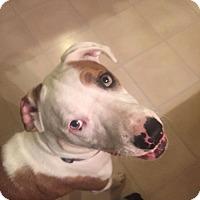 Adopt A Pet :: Nyla - Groton, CT
