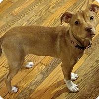 Adopt A Pet :: Tilly is in Mass!!!! - Harrisonburg, VA