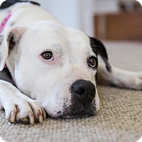 Adopt A Pet :: OLIVE - Kittery, ME