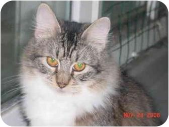 Domestic Longhair Cat for adoption in Pendleton, Oregon - Daisy