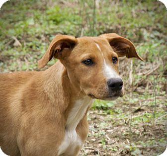 Labrador Retriever Mix Puppy for adoption in Huntsville, Alabama - Charity
