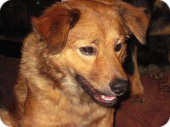 Labrador Retriever/Chow Chow Mix Dog for adoption in Homewood, Alabama - Trixie