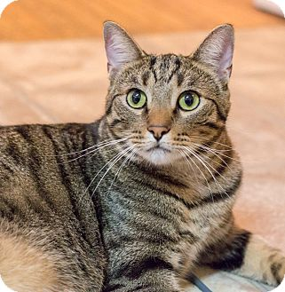 Domestic Shorthair Cat for adoption in Chicago, Illinois - Silver