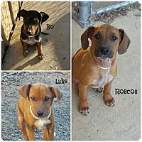 Adopt A Pet :: Doberman Mix Puppies - Glastonbury, CT