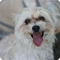 Adopt A Pet :: Gizmo - Canoga Park, CA