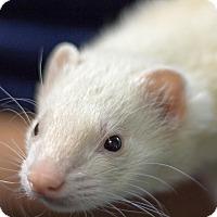 Ferret for adoption in Balch Springs, Texas - Daniel