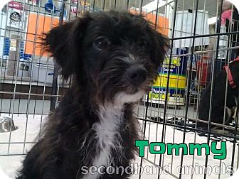 Maltese/Chihuahua Mix Puppy for adoption in Rosamond, California - Tommy