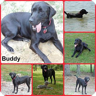Labrador Retriever Dog for adoption in Inverness, Florida - Buddy