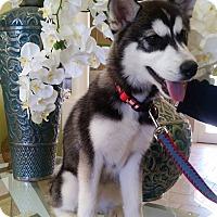 Adopt A Pet :: Maui - Clearwater, FL