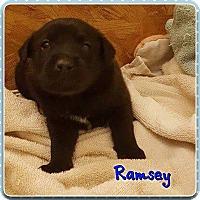 Labrador Retriever Puppy for adoption in Jay, New York - Ramsey