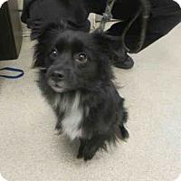 Adopt A Pet :: Tessa - Portland, OR