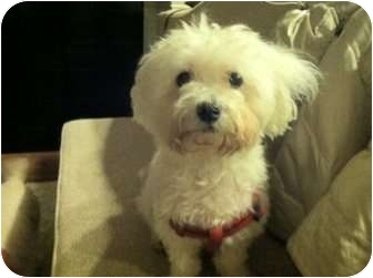 Maltese/Poodle (Miniature) Mix Dog for adoption in Long Beach, New York - Brandon