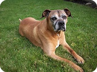 Boxer Mix Dog for adoption in Avon, New York - Deuce