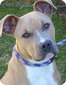 American Pit Bull Terrier Mix Puppy for adoption in Red Bluff, California - Parker-URGENT-$20 adoption fee
