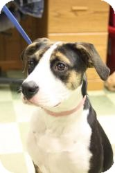 Beagle/Boxer Mix Dog for adoption in Dover, Ohio - Libby