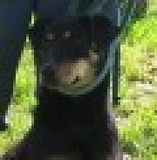 Hound (Unknown Type)/Shar Pei Mix Dog for adoption in Covelo, California - Tilly