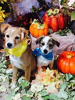 Terrier (Unknown Type, Medium) Mix Dog for adoption in Sherman Oaks, California - Carma