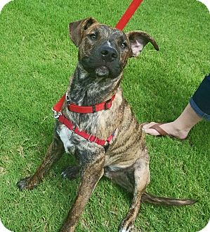 American Pit Bull Terrier/Boxer Mix Dog for adoption in Weatherford, Texas - Val