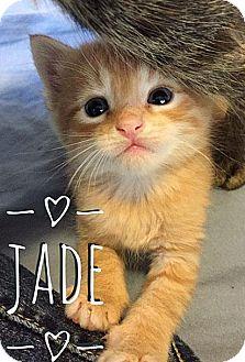 Domestic Shorthair Kitten for adoption in Fort Leavenworth, Kansas - Jade-adoption pending