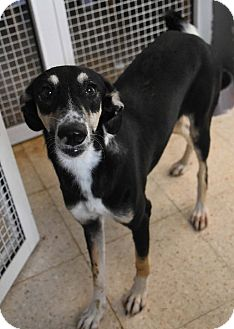 Whippet/Retriever (Unknown Type) Mix Dog for adoption in WADSWORTH, Illinois - JENEVA
