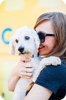 Poodle (Miniature)/Bichon Frise Mix Dog for adoption in Los Angeles, California - Pistol Pete *I'm a tripod!