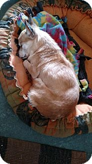 Chihuahua Dog for adoption in Akron, Ohio - Claire