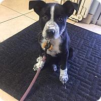 Adopt A Pet :: Dottie - La Verne, CA