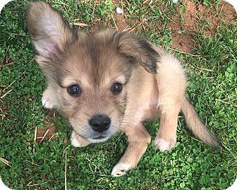 Border Collie Mix Puppy for adoption in Charlotte, North Carolina - Zeus