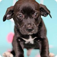 Adopt A Pet :: Aladdin - Waldorf, MD