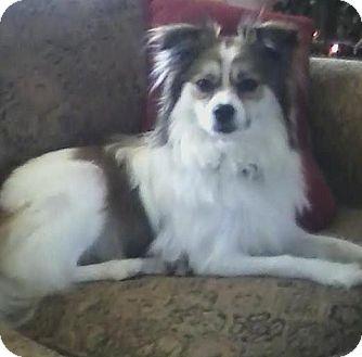 Papillon Dog for adoption in Hilliard, Ohio - Sidney