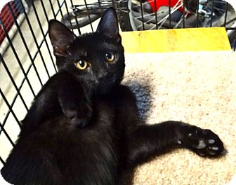 Bombay Kitten for adoption in Escondido, California - Onyx